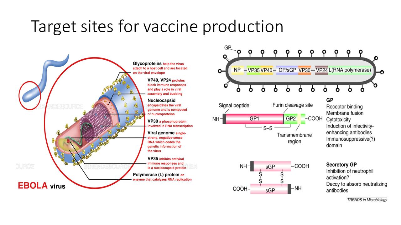 ImmunoKenya2018_EboV_Slide4