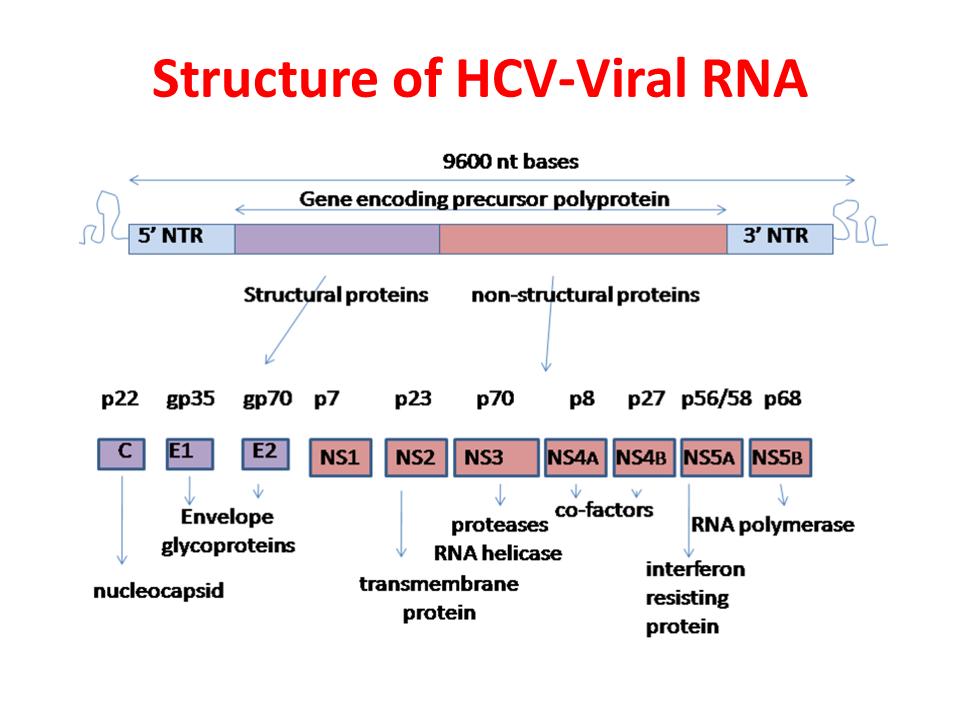 ImmunoKenya2018_HCV_Slide5